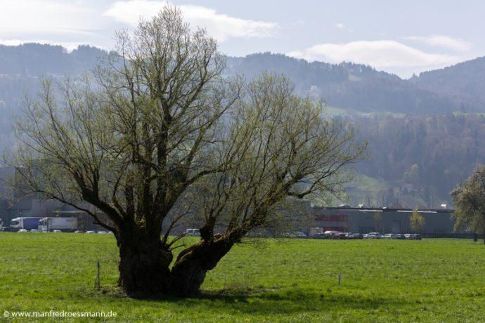 Bäume in Österreich