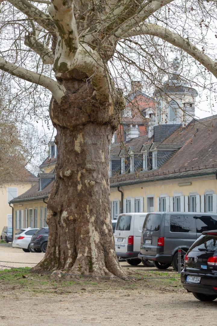 Ahornblaettrige Platane in der Ehemalige Kuranlage Wilhelmsbad