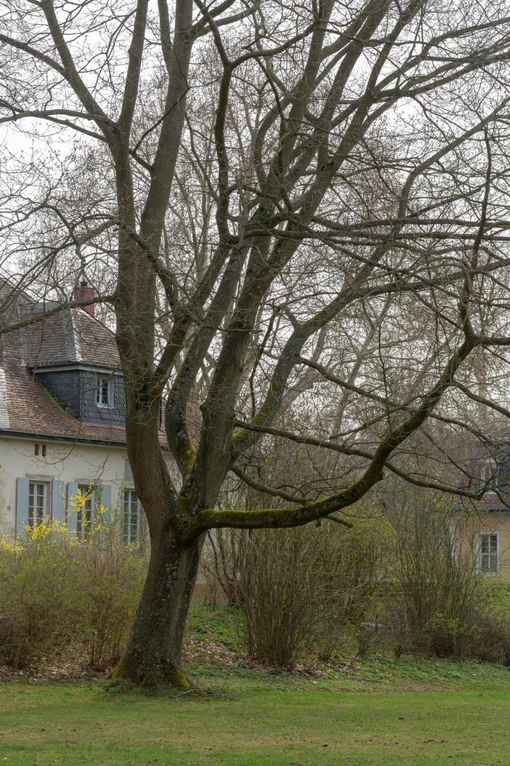 Rot-Eiche in der Ehemalige Kuranlage Wilhelmsbad