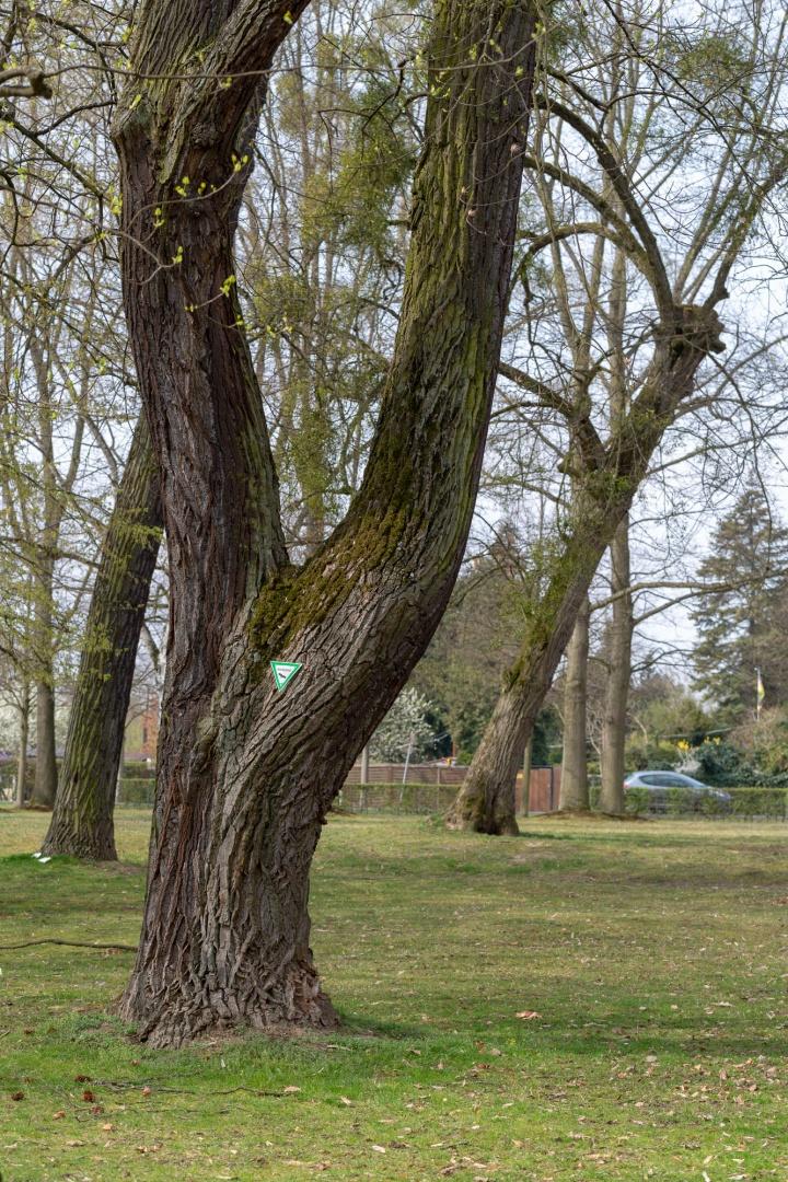 Sommer-Linde im Staatspark Hanau-Wilhelmsbad ---2