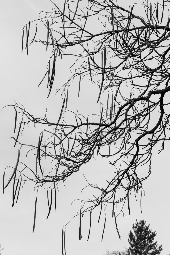 Trompetenbaum in der Ehemalige Kuranlage Wilhelmsbad