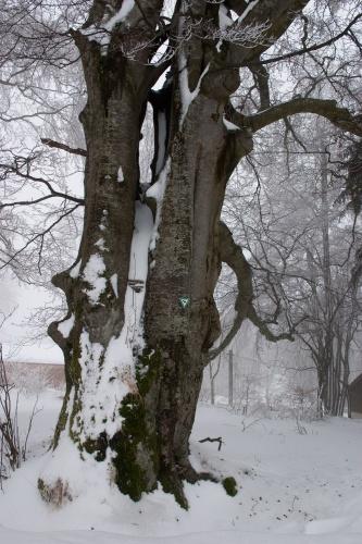 Landwehr-Buche 2010