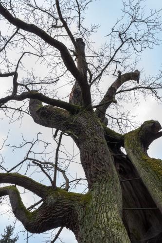 Rieseneiche in Albshausen Krone