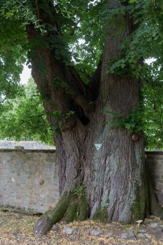 Linde im Burghof-2
