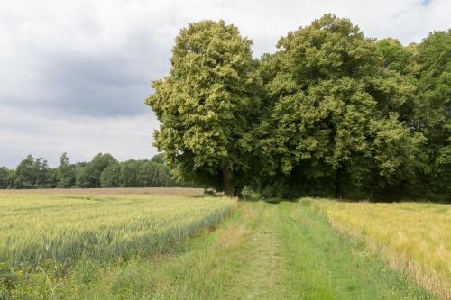 Beide Linden von Osten am Waldrand