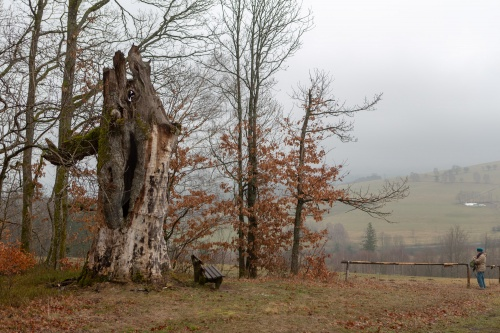Tote Stieleiche oberhalb vom Ort Sparbrod
