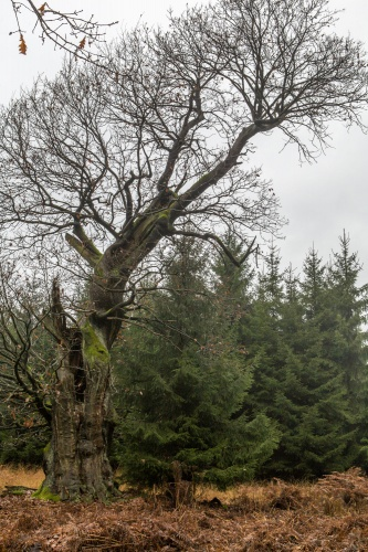 13.11.2009 Reinhardswald und Urwald Sababurg-2