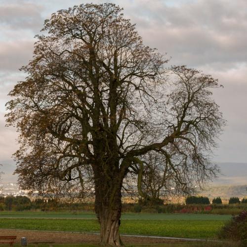 Kastanie in Niedererlenbach - Winterhabitus