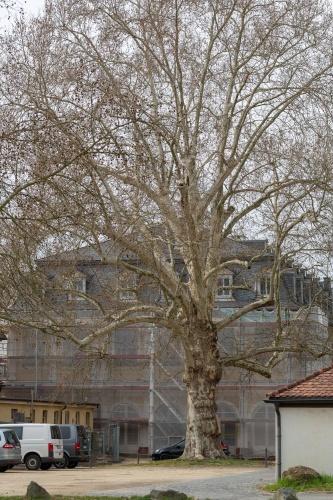 Ahornblaettrige Platane in der Ehemalige Kuranlage Wilhelmsbad-4