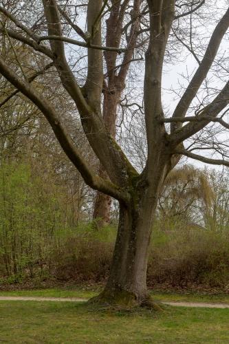 Rot-Eiche in der Ehemalige Kuranlage Wilhelmsbad-2