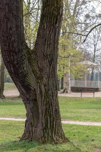 Sommer-Linde im Staatspark Hanau-Wilhelmsbad ---3