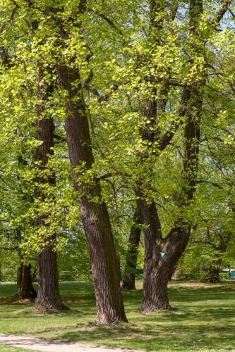 Sommer-Linde im Staatspark Hanau-Wilhelmsbad --