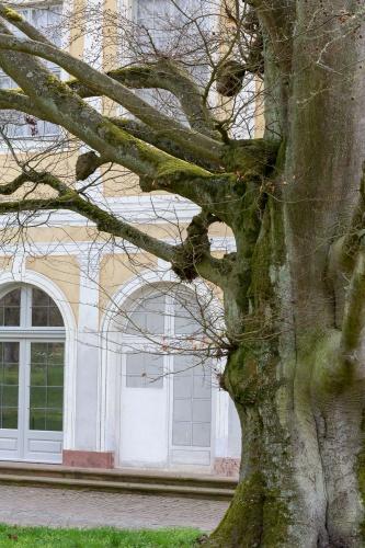 Westliche Blutbuche in der Ehemalige Kuranlage Wilhelmsbad-2