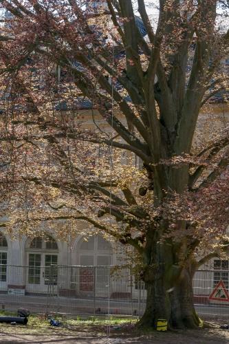 Westliche Blutbuche in der Ehemalige Kuranlage Wilhelmsbad