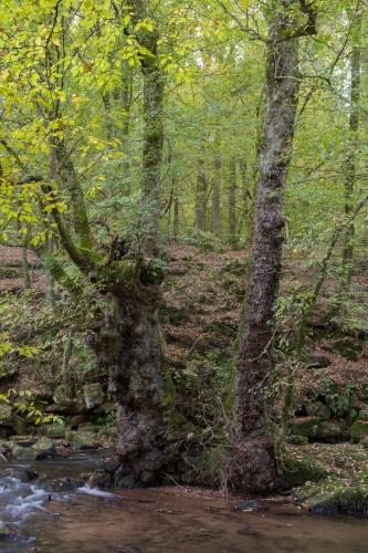 Feld(Flatter-)ulme bei Hirschhorn