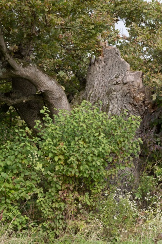 Eiche nahe Koepfchenweiher Detail