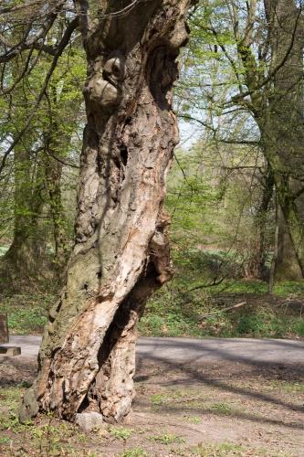 Schneitelbuche im Wald in Sprendlingen - Stamm
