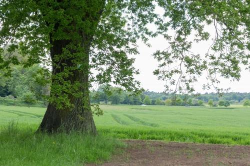 Stieleiche nahe Schloss Philipseich-2