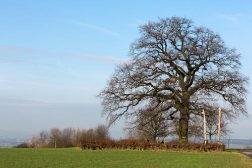 Lausbaum an der Hohen Strasse - Habitus Winter