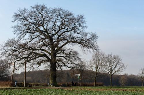 Lausbaum an der Hohen Strasse-4