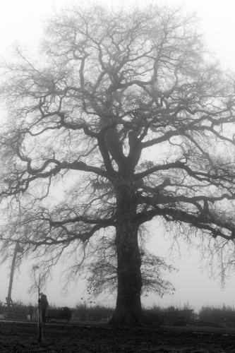 Lausbaum an der Hohen Strasse - Habitus