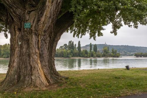 Schwarzpappel, Populus nigra-2