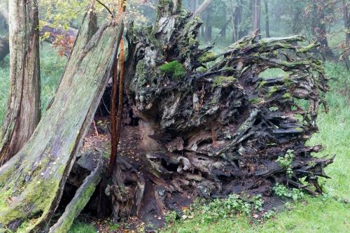 Stieleiche 2001 beim Sturm entwurzelt