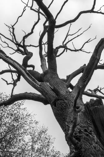 Stiel-Eiche mit Totholz