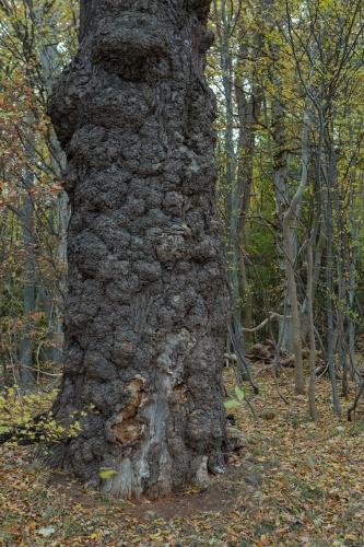 Stiel-Eiche mit Wundverschluessen (Frostschaeden) seeseitig