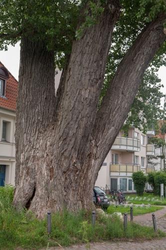 Schwarzpappel in Greifswald-2