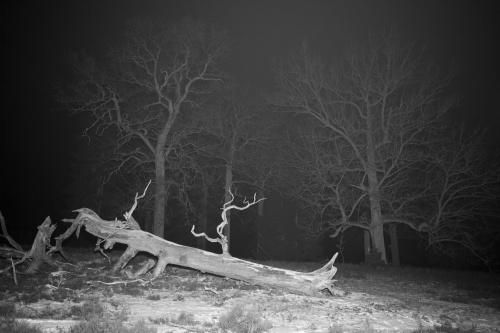 Tote Huteeiche in kalter Winternacht-2