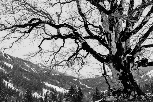 Bergahorn in 1000 m Hoehe