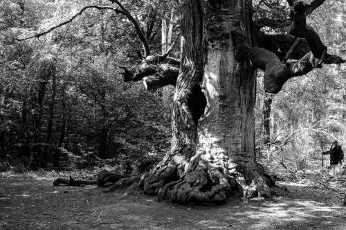 Kamineiche im Urwald Sababurg