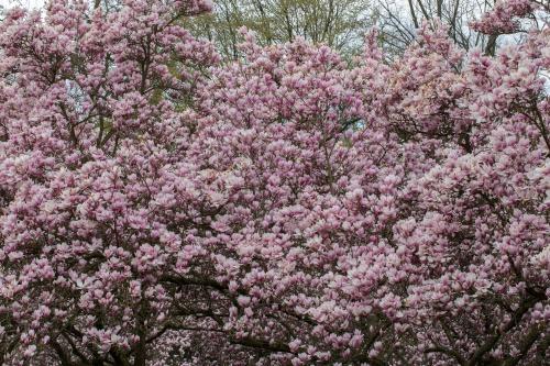 Magnolienhain im Park Schoental-17