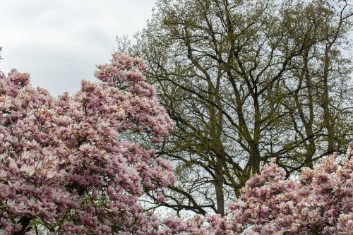 Magnolienhain im Park Schoental-20