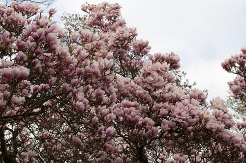 Magnolienhain im Park Schoental-21