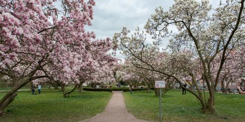 Magnolienhain im Park Schoental-22