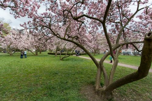 Magnolienhain im Park Schoental-23