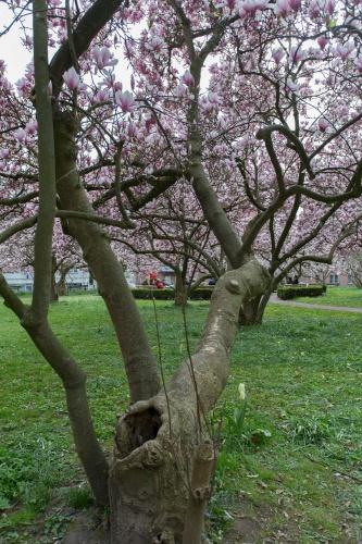 Magnolienhain im Park Schoental-24