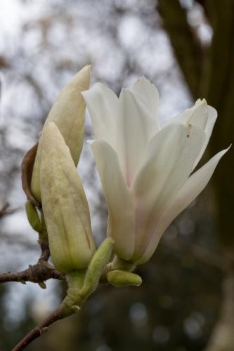 Magnolienhain im Park Schoental-7