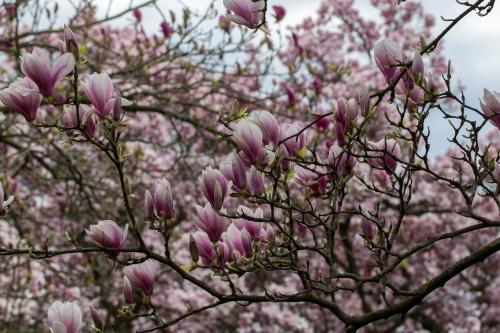 Magnolienhain im Park Schoental-9