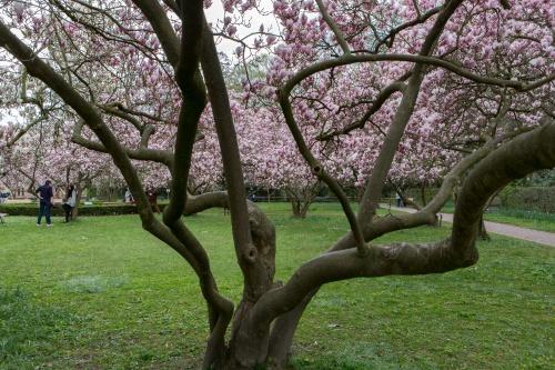Magnolienhain im Park Schoental