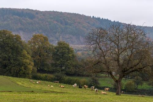 Nussbaum mit Rindern