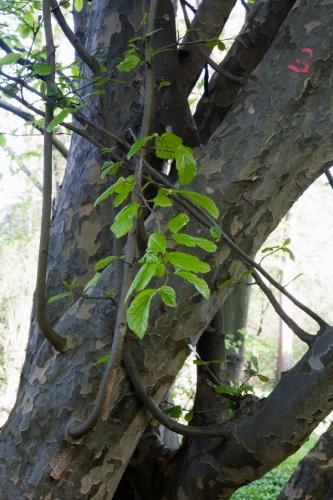 Junge Perser, Parrotia persica