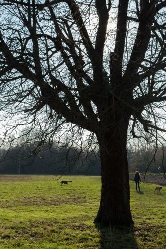 Alter Speierling und Hunde