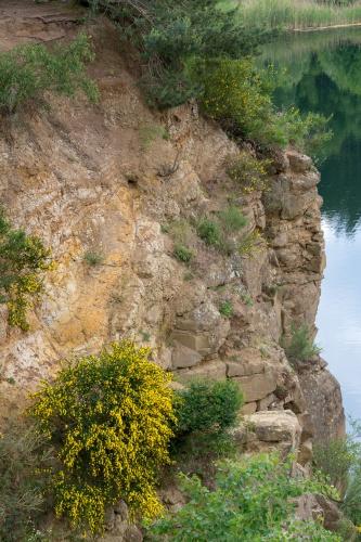 Ginster am Oberwaldsee