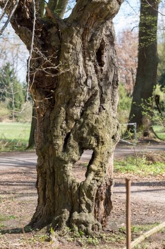 Schneitelbuche im Wald in Sprendlingen - Stamm mit Durchblick
