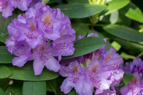Rhododendron-Bluete