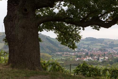 Alte Eiche auf dem Disibodenberg