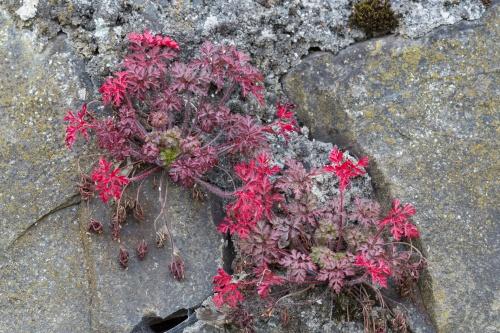 Rot auf Fels 2